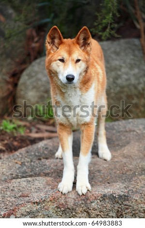 Full body shot of Dingo looking slightly off camera. - stock photo