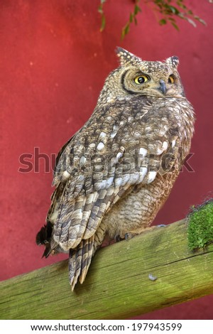 Full Body View of Spotted Eagle Owl Perching - stock photo