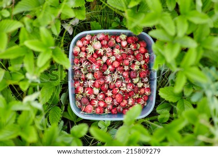Full bowl of fresh forest strawberries standing on a green lawn - stock photo