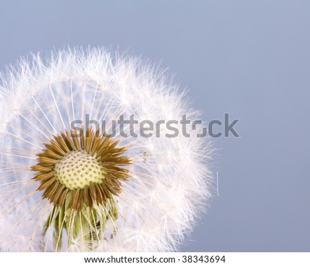 full dandelion head and seeds