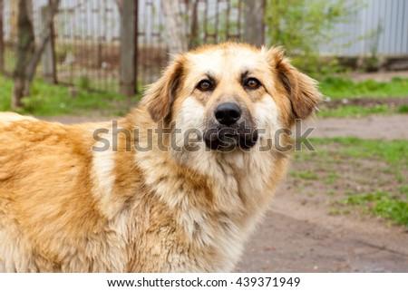 full face dog. big beautiful golden dog - stock photo