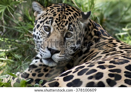Full facial view of Jaguar intently watching the camera in an over the shoulder shot while lying in the grass featuring beautiful eyes. - stock photo
