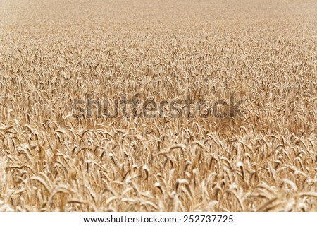 Full frame agricultural background of a field of ripe golden wheat ready for harvesting as a foodstuff, biofuel of for silage - stock photo