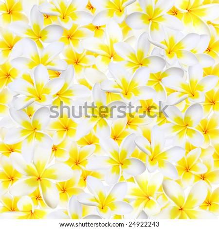Full-frame background of plumeria or frangipani flowers.  XXL file. - stock photo