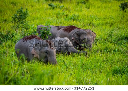 Full frame close up of Wild elephants walking on blady grass in real nature at Khao Yai  national park,Thailand - stock photo