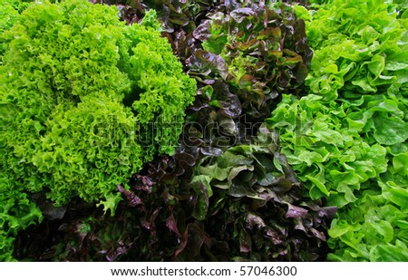 Full frame close up photo of a Lettuce - for background or texture - stock photo