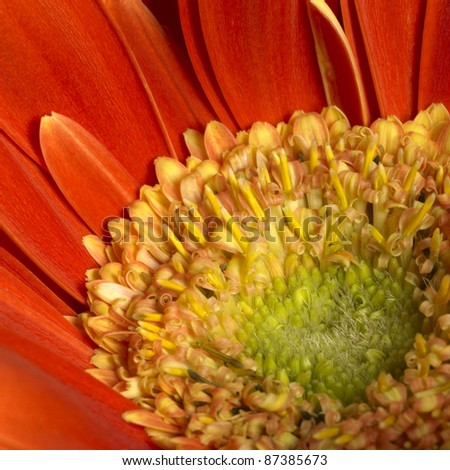 full frame closeup photography of a red gerbera flower - stock photo