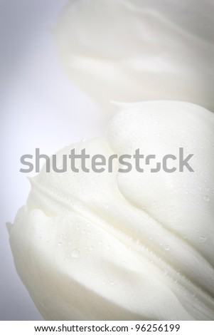 Full frame image of a white tulip with dewdrops (Tulipa).