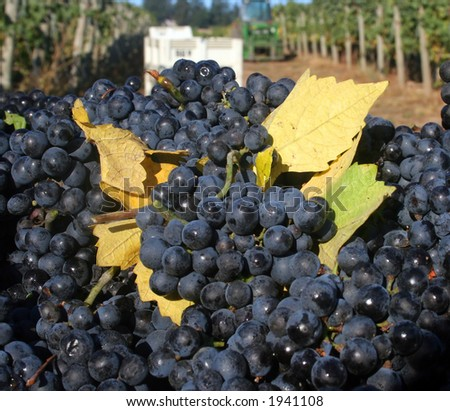 Full grape bin with fall leaves mixed in. - stock photo