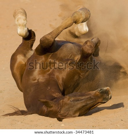 Full grown Chestnut Horse on his back - rolling and kicking in cloud of dust - stock photo