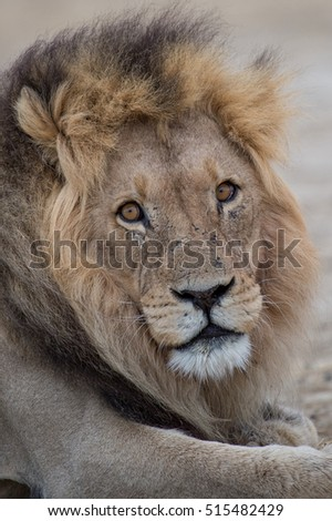 Full-grown male Kalahari Lion with black mane in the Kalahari Desert, Kgalagadi Transfrontier Park, South Africa