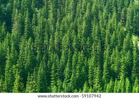 Full image of coniferous trees - texture - stock photo