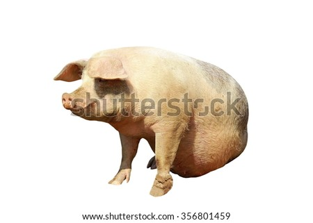 full length domestic pig isolated over white background - stock photo