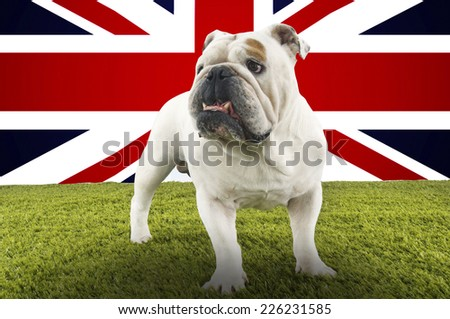 Full-length of British Bulldog standing in front of Union Jack - stock photo
