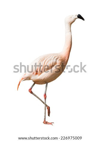 Full Length of Chilean flamingo (Phoenicopterus chilensis). Isolated over white background - stock photo