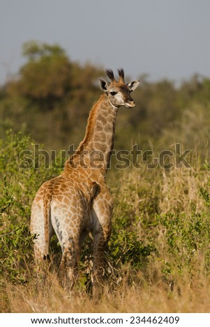 Full length, over the shoulder image of one young giraffe, Giraffa camelopardalis, in the Kruger National Park, South Africa - stock photo
