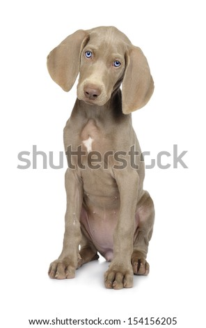 Full length photo of a young Weimaraner dog on white - stock photo