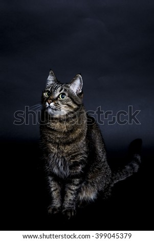 Full Length Portrait of Domestic Pet Tabby Cat Sitting in Studio with Dark Gray Background and Looking Up Inquisitively