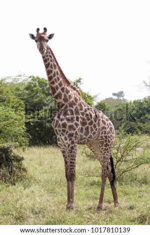 Full length shot of young giraffe