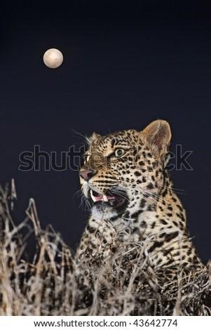 Full Moon Leopard - stock photo