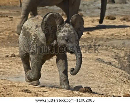 Full of Energy this Elephant calf chased all the birds from the water - stock photo