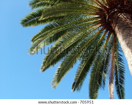 Full Palm Tree against bright blue sky - stock photo