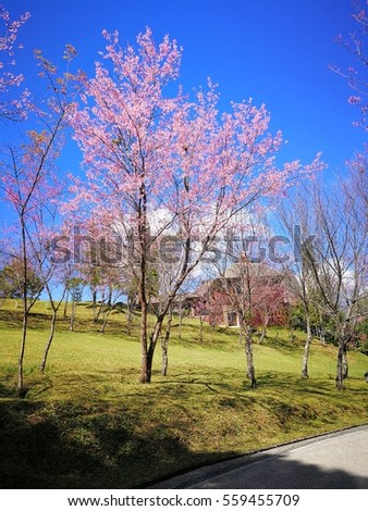 Full pink cherry blossom on spring in the morning at north of Thailand