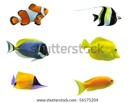 full side view of tropical fish isolated on white - stock photo