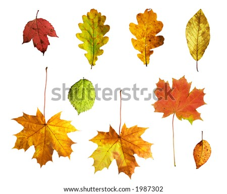 Full-size composite photo of various autumn leaves: maple, oak, viburnum (guelder rose), honeysuckle, apple and alder-tree. Isolated on white background. - stock photo