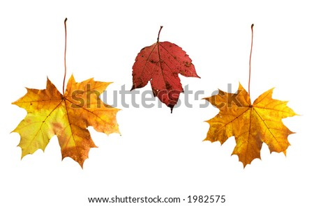 Full-size composite photo of various autumn leaves: maple, viburnum (guelder rose). Isolated on white background, clipping path included. - stock photo