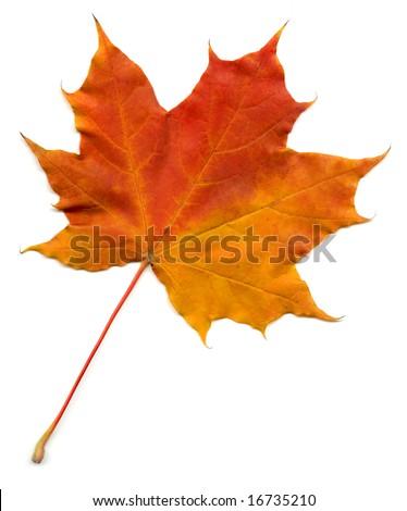 Full size photo of leaf isolated on white background - stock photo