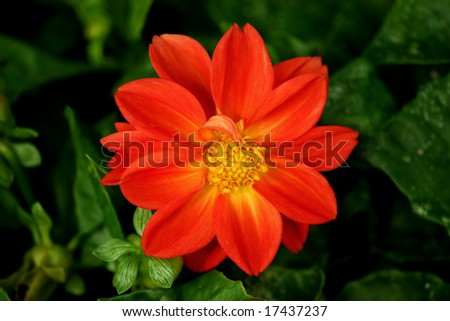 Full view of a red orange and yellow dahlia.