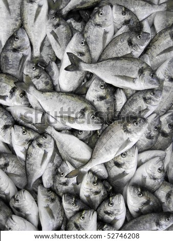 full view of giltheads (Sparus aurata) stock - stock photo