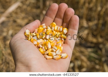 fullhand with maize - stock photo