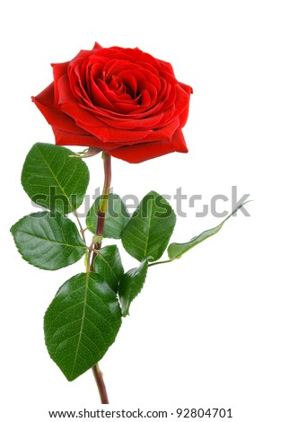 Fully blossomed, gorgeous red rose with stem and leaves on pure white background - stock photo