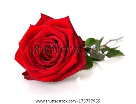 Fully blossomed, gorgeous red rose with stem and leaves on white background, with reflection - stock photo