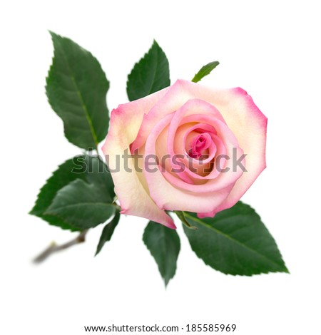 Fully blossomed, pastel colored pink rose with stem and leaves on pure white background