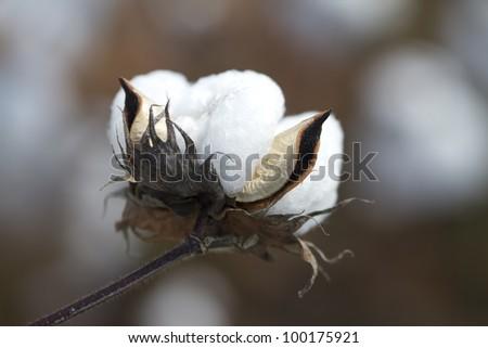 Fully Mature Cotton Boll/ Gossypium Cotton Crop/Limestone County Alabama Cotton Boll - stock photo