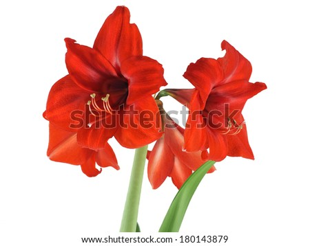 Fully opened blooming Amaryllis close-up isolated over white