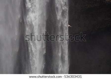 Fulmar flying past waterfalls in Iceland