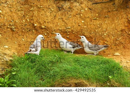 Fulmar, Fulmarus glacialis, selective focus of a breeding pair in Spring engaged in their cackling display warning off a potential threat, Crantock Bay, Cornwall, England, UK