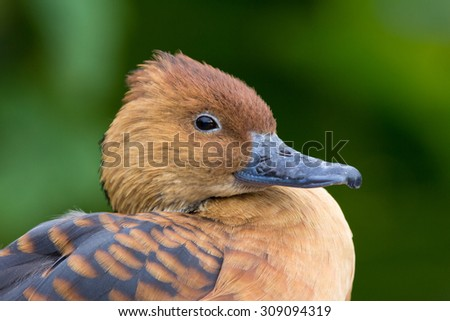 Fulvous whistling duck, dendrocygna bicolour