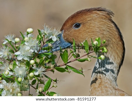Fulvous Whistling Duck with flowers. Dendrocygna bicolor. Bioparc, Valencia, Spain