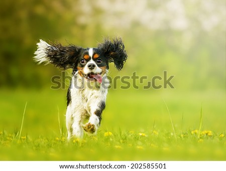 fun and beautiful cavalier king charles spaniel dog running in s - stock photo