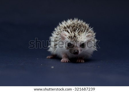 fun and cute boy african pygmy hedgehog baby in dark background
