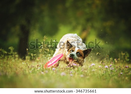 fun and playing beautiful brown australian cattle dog puppy running flying with frisbee in summer meadow