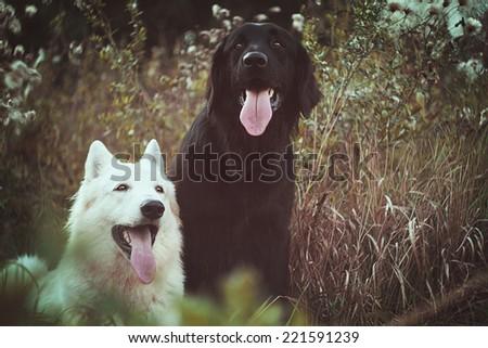fun beautiful young hovawart and white swiss shepherd dog puppy - stock photo