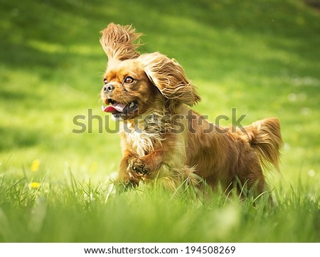 fun cavalier king charles spaniel puppy dog running - stock photo
