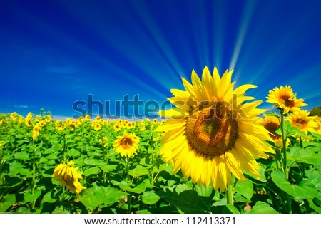 Fun sunflowers growth against blue sky - stock photo