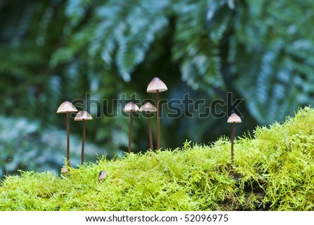 Fungi colony growing from moss in Tasmanian rainforest - stock photo